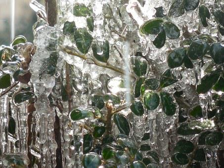 Holly, Ice, Winter, Tree, Snow, Nature, White, Plant