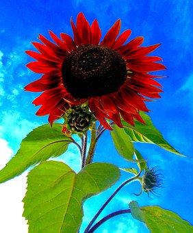 Red Sunflower, Helianthus Red Annus Prado, Red