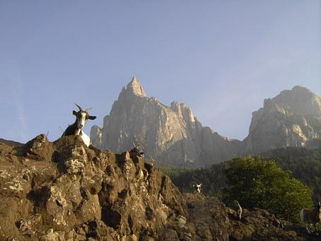 Mountain Goat, South Tyrol, Schlern