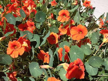 Nasturtiums, Orange, Summer