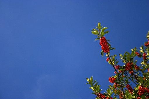 Holly, Christmas, Blue, Sky, Red, Fresh, Tree, Bush