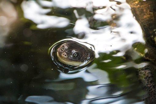 Turtle, Happy, Head, Water, Smile, Funny, Cute