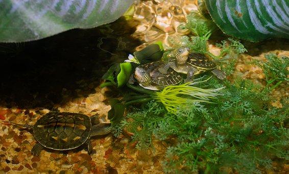 Animals, Turtles, Reptile, Water, Cute, Nature
