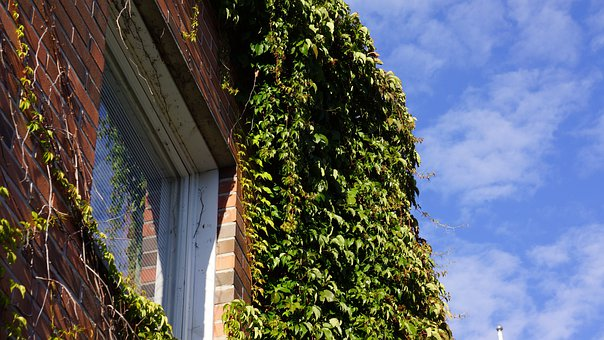 Virginia Creeper, Grow Along The Wall