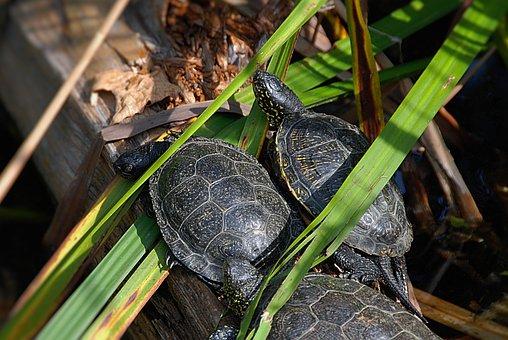 Marsh Turtles, Close, Zoo, Animal