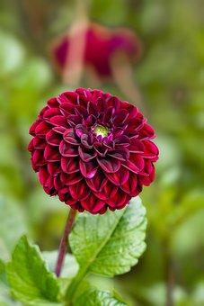 Dahlia, Flower, Red Flower, Petals, Red Petals, Bloom