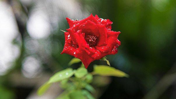 Rose, Flower, Dew, Dewdrops, Red Rose, Rose Bloom