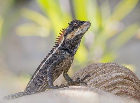 Emma Gray's Forest Lizard, Lizard, Reptile, Scaly