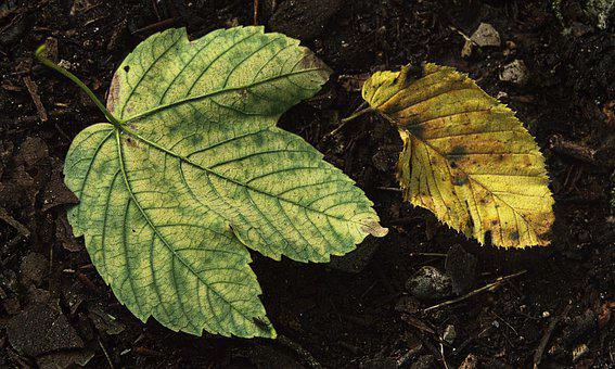 Leaves, Nature, Botany, Photosynthesis, Leaf Veins