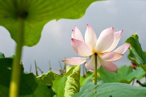 Flower, Lotus, Nature, Bloom, Blossom, Botany, Growth