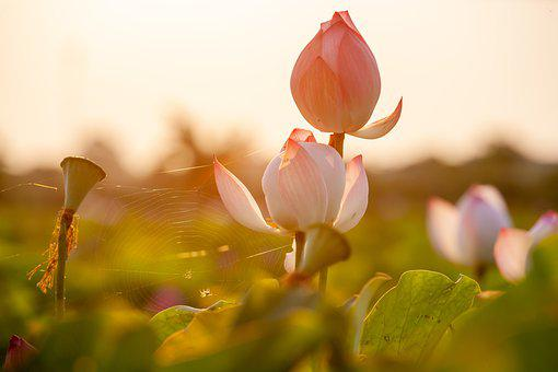 Flowers, Lotus, Nature, Bloom, Blossom, Growth, Botany
