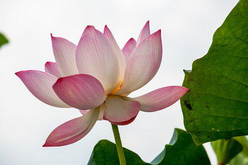 Flower, Lotus, Nature, Bloom, Blossom, Growth, Botany