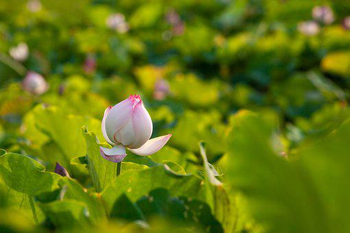 Flower, Lotus, Bloom, Blossom, Growth, Botany, Nature