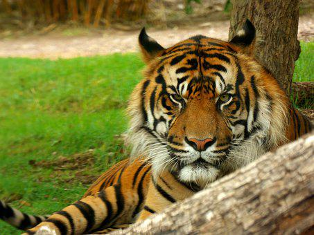 Tiger, Feline, Predator, Stripes, Mammal, Wildlife