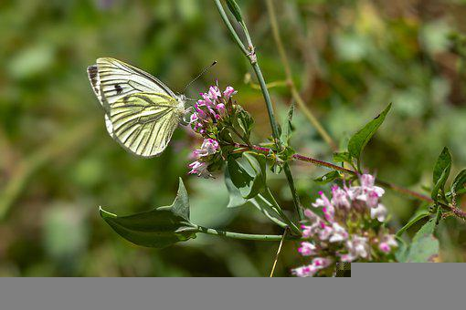 Green Veined White Butterfly, Butterfly, Flowers, Wings