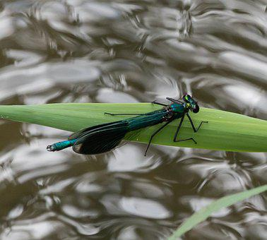 Dragonfly, Insect, Leaf, Anisoptera, Odonata, Plant