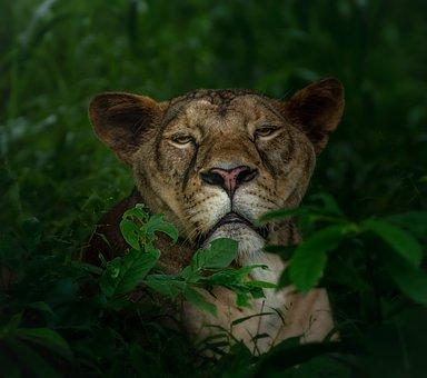 Lioness, Lion, Animal, Wildlife, Predator, Big Cat