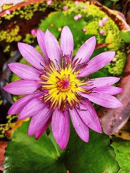 Lotus, Flower, Lotus Flower, Pink Flower, Petals