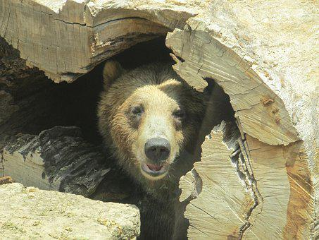 Brown Bear, Bear, Animal, Head, Predator, Zoo