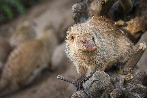 Mongoose, Animal, Mammal, Predator, Wildlife, Wild