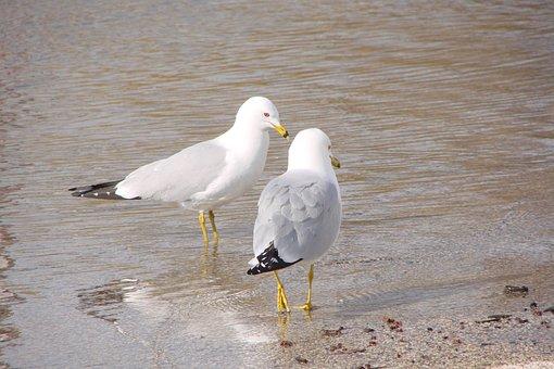 Sea Birds, Beach, Seagulls, Birds, Sea, Nature, Coast