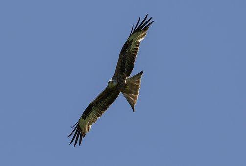 Red Kite, Flying, Bird, Predator, Animal, Feathers