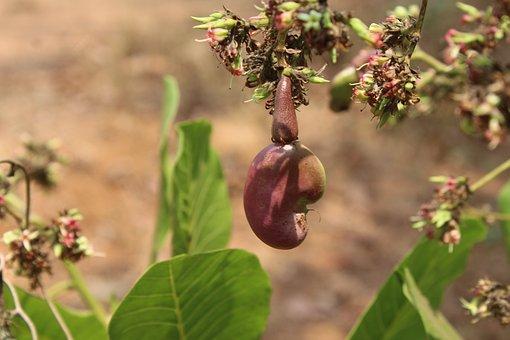 Cashew, Fruit, Plant, Nut, Cashew Nut, Flowers, Buds