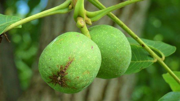 Walnut, Fruits, Branch, Nut, Green Walnuts, Leaves