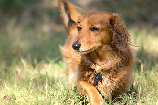 Dog, Pet, Dachshund, Animal, Domestic Dog, Canine