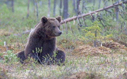 Bear, Grizzly, Animal, Wildlife, Grizzly Bear