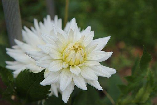 Dahlia, Flower, Plant, Cactus Dahlia, White Dahlia