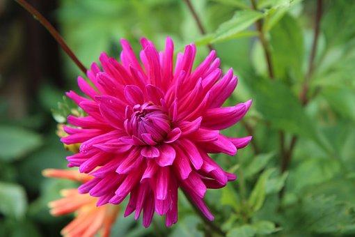 Dahlia, Flower, Plant, Cactus Dahlia, Pink Flower