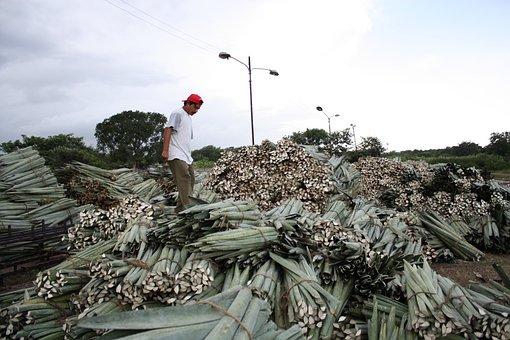 Farmer, Mexico, Hard Work, Yucatan, Farming, People