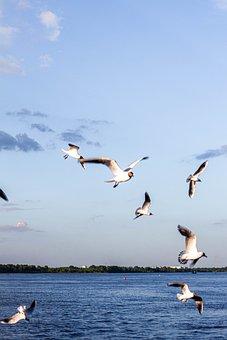 Seagulls, Birds, Flying, Sea, Animals, Flight, Freedom