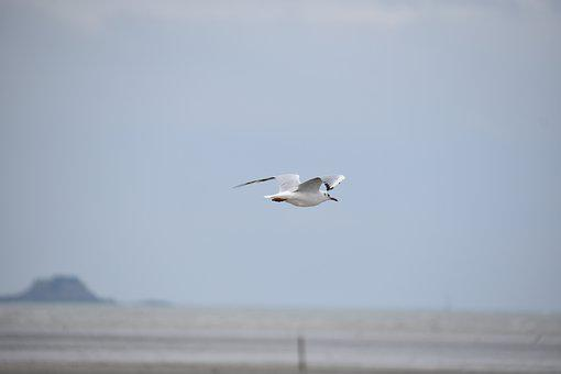 Bird, Seagull, Ornithology, Species, Animal, Flight
