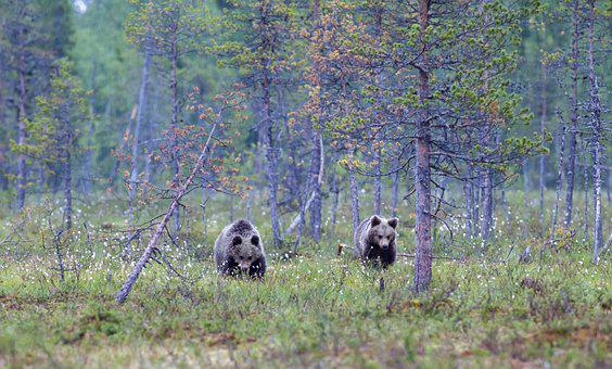 Bears, Animals, Forest, Wildlife, Grizzly, Grizzly Bear