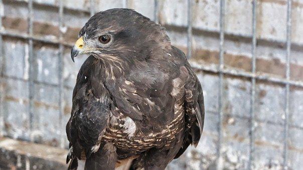 Hawk, Bird, Animal, Bird Of Prey, Raptor, Wildlife