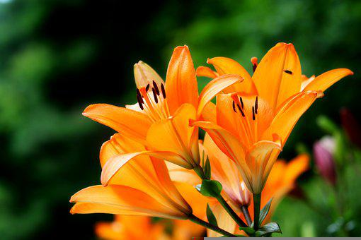 Daylilies, Orange Flowers, Flowers, Plant, Nature