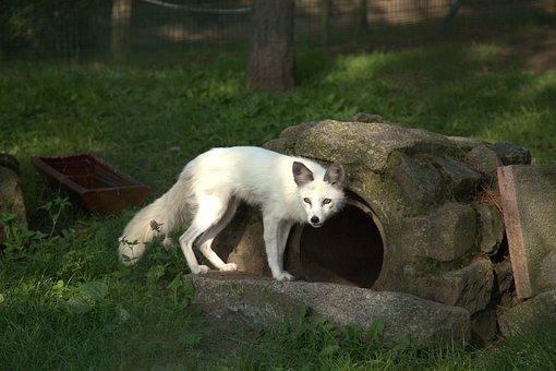 Fox, Animal, Park, Nature, Mammal, Wilderness, Wildlife