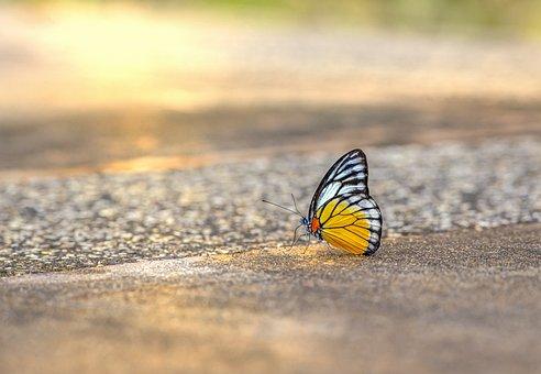 Orange Gull, Cepora Judith, Thailand, Asia, Butterfly