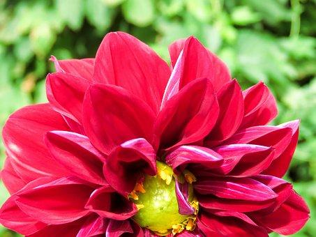 Flower, Petals, Dahlia, Flora, Floriculture, Bloom