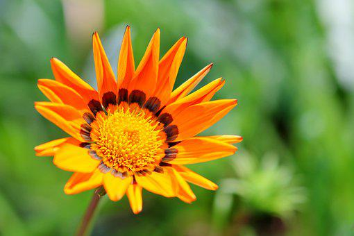 African Daisy, Flower, Gazania, Orange Flower, Petals