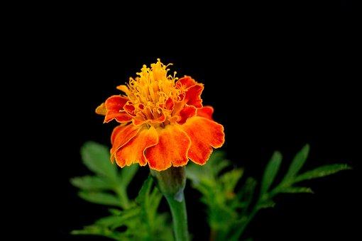 Marigold, Flower, Plant, Orange Flower, Petals, Stamens