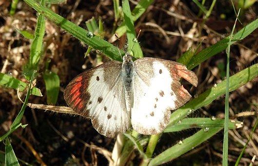 Butterfly, Great Orange Tip, Hebomoia Glaucippe