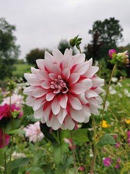 Dahlia, Flower, Plant, Petals, Bloom, Leaves, Garden