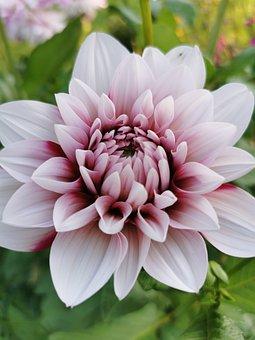 Dahlia, Flower, Plant, Petals, Bloom, Garden, Nature