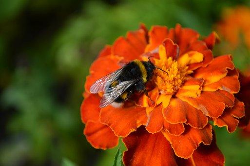 Bumblebee, Bee, Flower, Marigold, Insect, Orange Flower