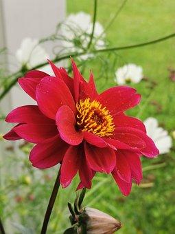 Dahlia, Flower, Plant, Dahlia Bishop Of Llandaff