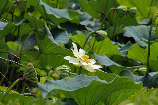 Lotus, Flower, Plant, Petals, White Flower, Water Lily