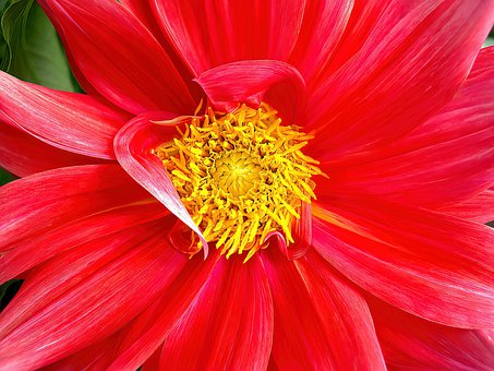 Dahlia, Red Flower, Macro, Bloom, Flower, Flora, Plant